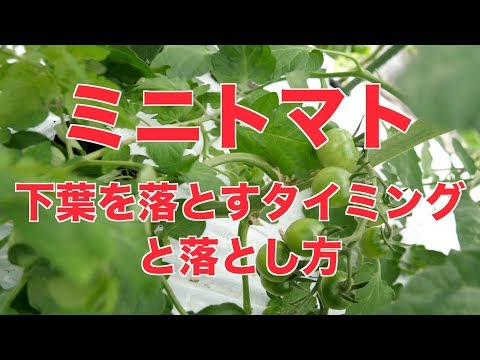 , title : '6/14  ミニトマトの下葉を落とすタイミング#403