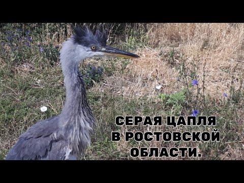 Молодая цапля учится летать.Цапли в дикой природе.