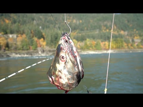 Hvid stør på 2 meter fra British Columbia