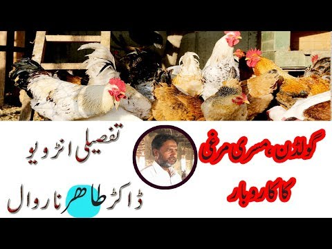 Golden Misri Desi Murghi Farming In Pakistan||Full
