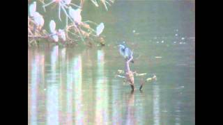 preview picture of video 'Black headed Heron, Cape Verde 2011'