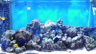 preview picture of video 'Sohal fish in my Aquarium'