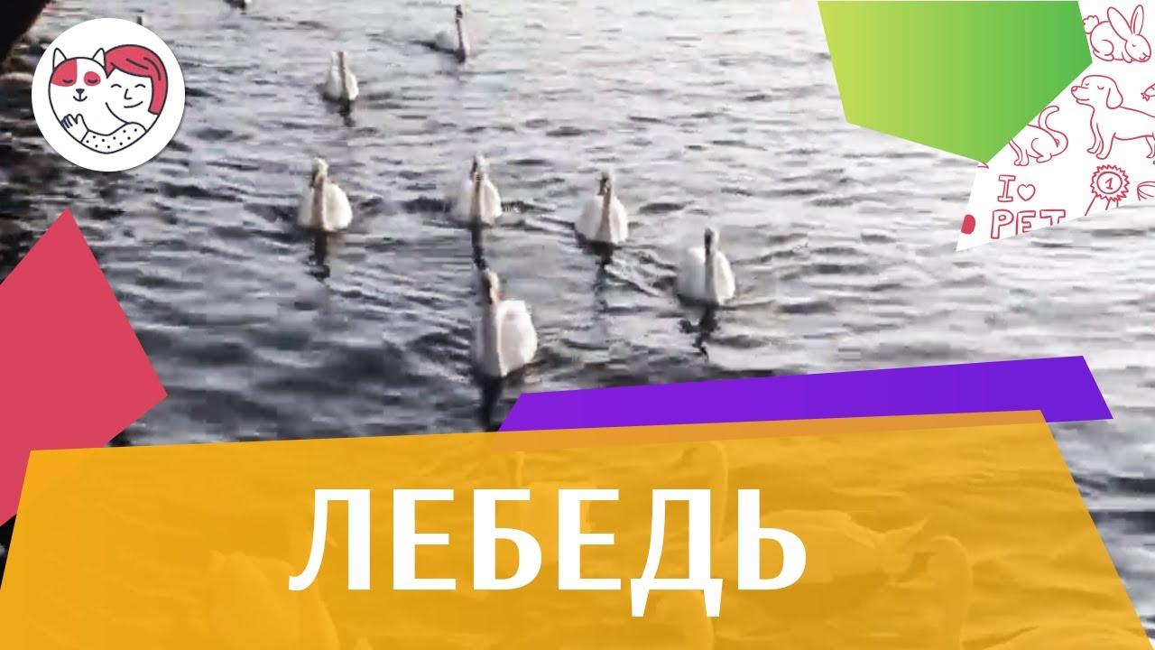 Лебедь Ареал обитания на ilikepet