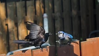 The Grackles And The Blue Jays Take Turns On The Suet Feeder - #shorts