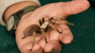 3 Best Tarantula Breeds for Beginners