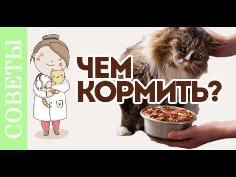Чем кормить кастрированного кота?! Советы ветеринара.