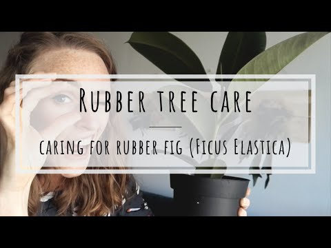 , title : 'Rubber tree care: how to keep rubber fig happy