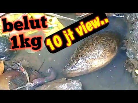 MANCING BELUT - BELUT REKOR 1KG