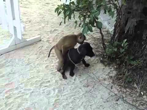 Chú khỉ cuồng bấn