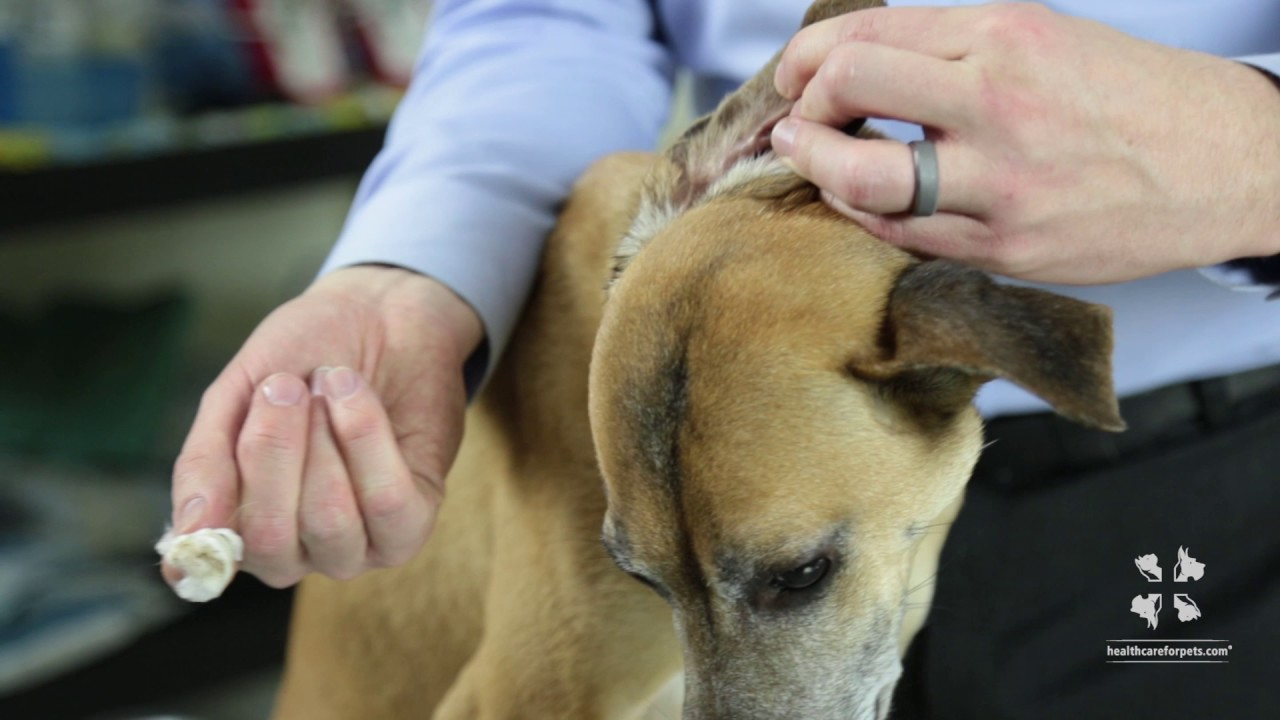 How to Properly Clean a Dog's Ear