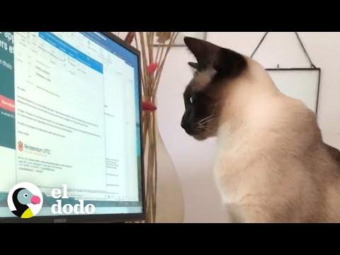 Divertidos Videos De Mascotas Interrumpiendo a Sus Dueños Mientras Trabajan