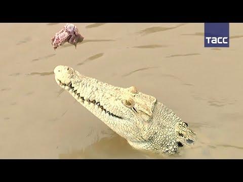 Белый крокодил — чужой среди своих