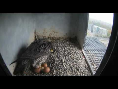 Nest 2: View of First Chick - 12.04.17