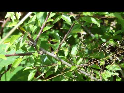 Brown Hairstreak egg laying Bookham 310814