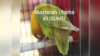 Masteran Utama ku untuk lovebird Kusumo ( jadi mp3 pake ap VIDMATE/ download free)