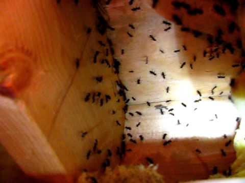 Sugar Ants Bite