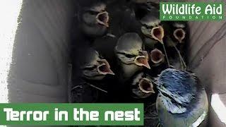 Woodpecker attacks baby birds