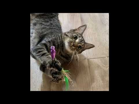Elna, an adoptable Tabby & Domestic Short Hair Mix in Springfield, OR_image-1