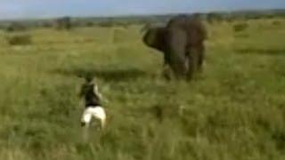 Пьяный турист напугал африканского слона