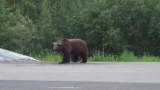 Медведь на дороге,мурманская область