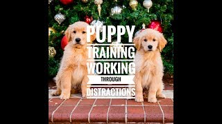 Golden Retriever Puppy Training: Working Through Distractions