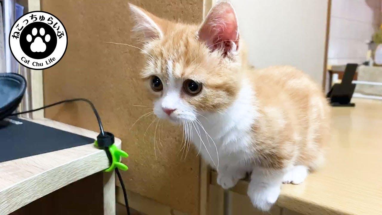 3ヶ月の短足マンチカン子猫てと君。破壊王か天使か?元気に成長中【短足マンチカンの子猫|てと君の日常|猫動画】Munchkin kitten is a destruction king or angel