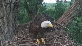 Decorah Eagles- Two Eaglets - Two Fish Dinners