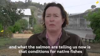 AJ+ Video California Drought Driving Salmon to Extinction