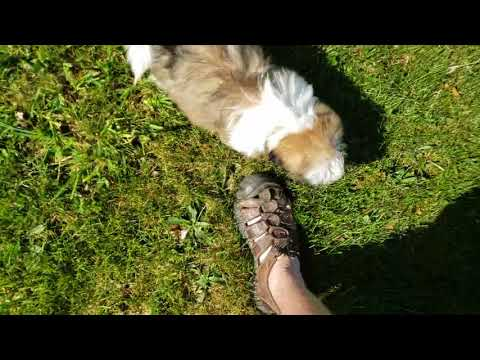Baxter the amazing Shih Tzu Puppy Playing
