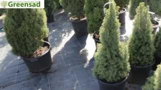 Канадская ель-коника видео