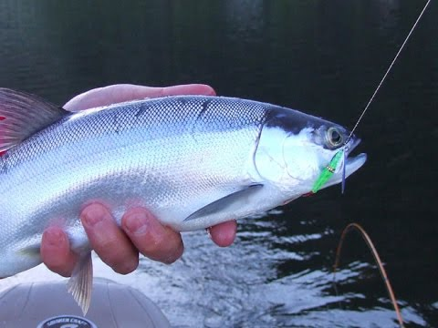 How To Catch Kokanee At Whiskeytown Reservoir: Episode 5