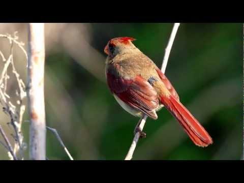 RE: Cardinalis cardinalis