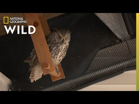 Taiger the Great Horned Owl | Alaska Animal Rescue