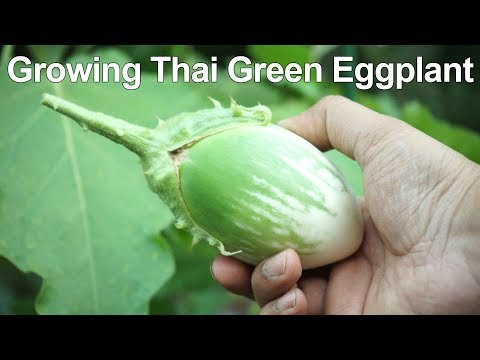, title : 'How To Grow Green Eggplant / Green Brinjal - Thai Eggplant Growing
