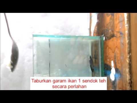 Video cara mengobati white spot ikan cupang dengan garam
