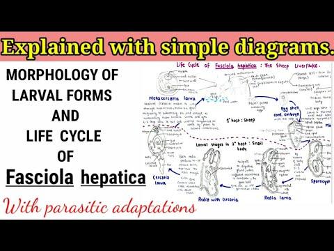 Dipyllobothriasis tünetei felnőtteknél