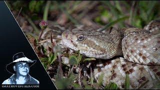 Mexican Rattlesnake Alert 01