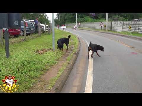 Casal de Rottweiler solto na entrada da cidade