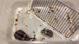 Como Juntar Hamsters PROVISORIAMENTE - Depois Precisa Separar