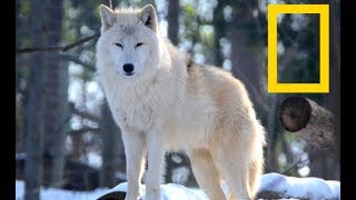 Wildlife Yellowstone    Wolf Alpha Kingdom | Wolves (Nat Geo Wild)