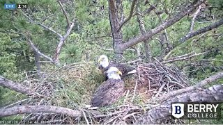 Berry College Eagles-NEW SEASON-DAD AND MOM SPEND TIME ON NEST-Nestorations Begin_9.18.20