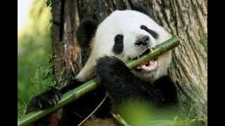 Panda eats bamboos album - Funny and cute pandas - Cutest Animals