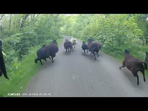 Sheeplechase