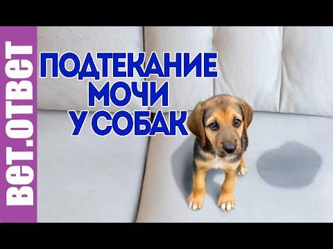 Чем лечить недержание мочи у собак.