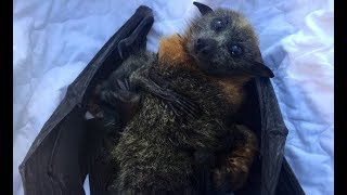 Rescue of a flying-fox hanging on a pool fence:  Riki and her twins