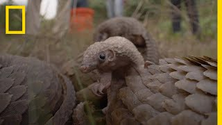 Nigerians Fight to Protect the World's Most Trafficked Mammal | National Geographic