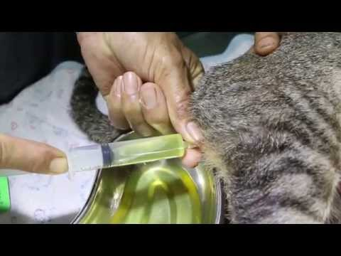 Video Recurring dysuria in a 4-year-old male cat in Yangon 1/3