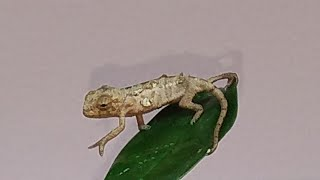 Baby Chameleon Hatching and Set up