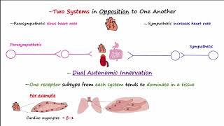 Autonomic Nervous System - Physiology