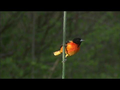 العرب اليوم - شاهد: نفوق واختفاء مليارات من الطيور في كندا و أميركا خلال الـ 50 سنة الماضية
